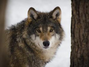 Vlkům se na Broumovsku daří. Chovatelům to velkou radost nedělá