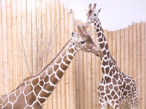 Safari park má nového samce žirafy, přicestoval až z Dánska
