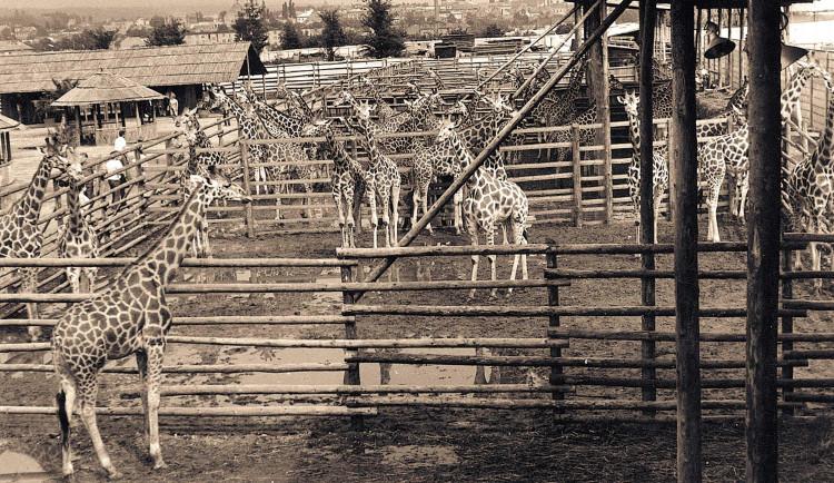Safari Park ve Dvoře Králové dnes slaví 75 let. Prohlédněte si dobové fotografie