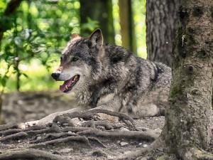 Na Broumovsku proběhlo celoplošné mapování vlků. Oficiálně potvrzeno jich bylo 10