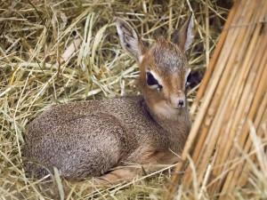 Safari Park má dalšího nováčka. Zahradě se podařilo odchovat antilopu s chobůtkem