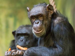 Bonnie a Babeta jsou ve dvorské zoologické zahradě už půl století. Výročí oslaví hostinou
