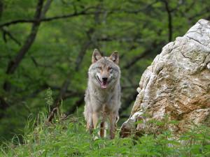Vlčí hlídka počítala vlky v Orlických horách. Na hranicích s Polskem se podařilo potvrdit pět kusů