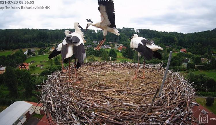 Mláďata čápů z Mladých Buků už vylétají z hnízda. Přikrmování končí