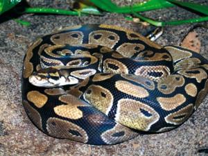 Hasiči vyjížděli kvůli neznámému hadovi na zahradě rodinného domu. Šlo o krajtu královskou