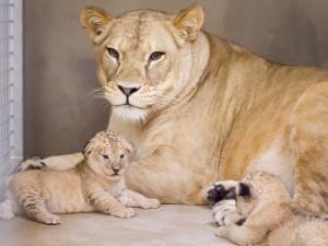 Ve Dvoře Králové se narodila dvojice lvů berberských. Jde o dvě samice
