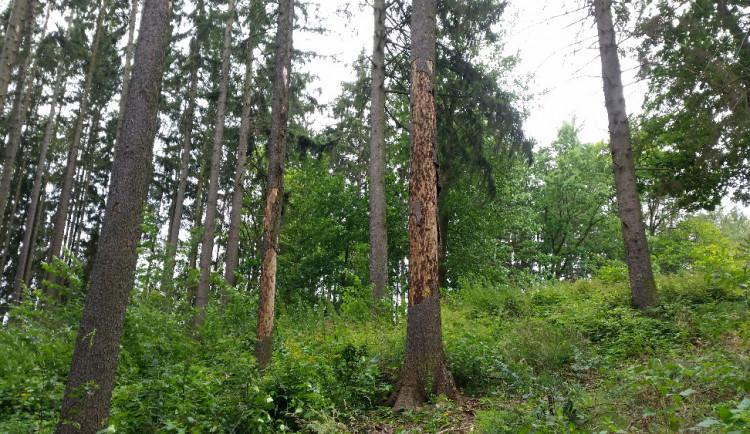 Chladné jaro přispělo ke snížení kůrovcové kalamity. Napadeného dřeva se těží méně