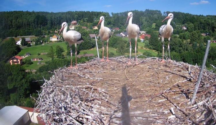 Poslední čápi na Trutnovsku opustili své hnízdo, vrátí se zase na jaře