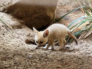 Safari Park má nová čtyřčata fenků. Matka se před porodem schovala do nory, ven začíná vylézat až nyní