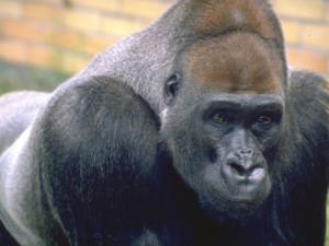 Ve Dvoře Králové uhynul gorilí samec Tadao, nejdéle žijící gorila v českých zahradách