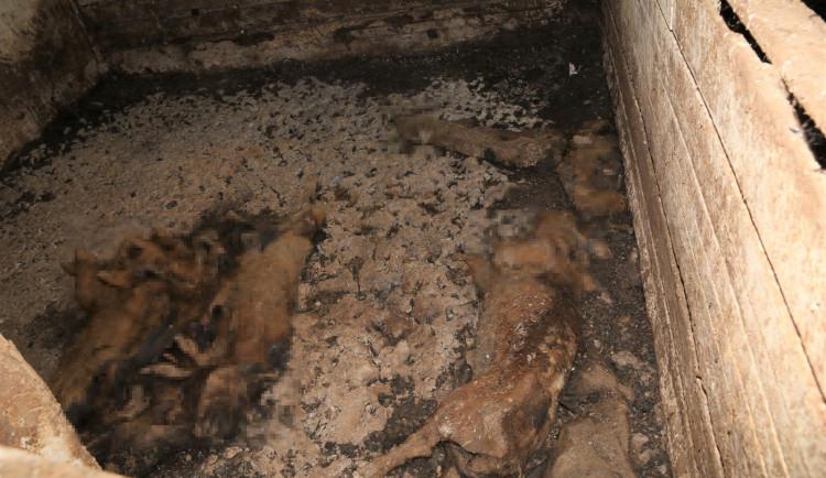 Na farmě policisté našli 70 mrtvých zvířat v rozkladu. Z týrání jsou obvinění dva lidé