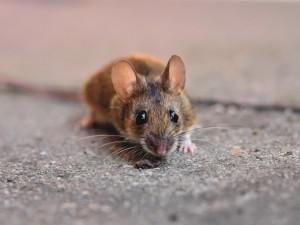 S chladným počasím se do domů stěhují myši a na půdu kuny. Jak je vyhnat?