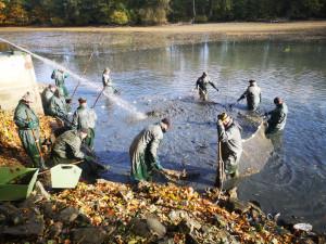 O víkendu se konal výlov rybníku Datlík. Za štědrovečerního kapra si letos opět připlatíme