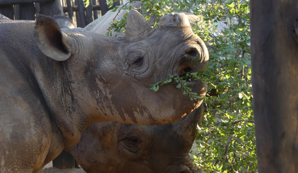Přesun nosorožců ze Dvora Králové do Rwandy
