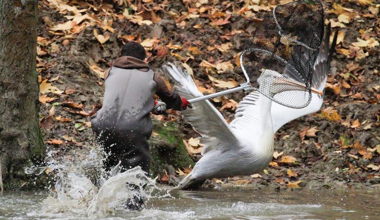GELERIE: Odchyt pelikánů v Safari Parku Dvůr Králové nad Labem